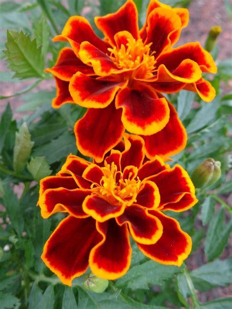 marigold paint marigold garden lovelies pinterest october flowers
