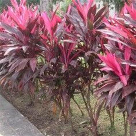 1000 images about tanaman hias daun on indoor palms and grasses