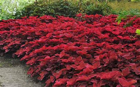 grow coleus growing coleus gardeners supply