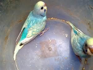 budgie colors parakeet colors color blue spangle parakeets