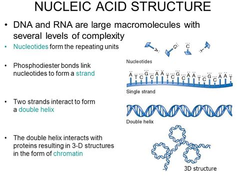 nucleic acid diagram nucleic acid structure ppt