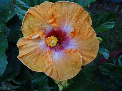 hibiscus plant care  collection  varieties gardenorg