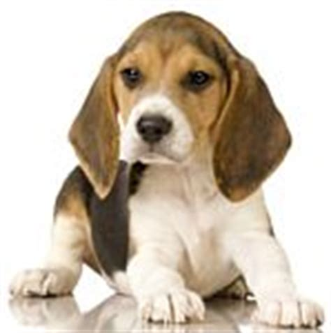 beagle puppies for sale in arkansas beagle puppies for sale beagle breeders