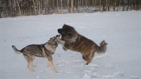 wolf vs caucasian ovcharka www pixshark images galleries with a bite