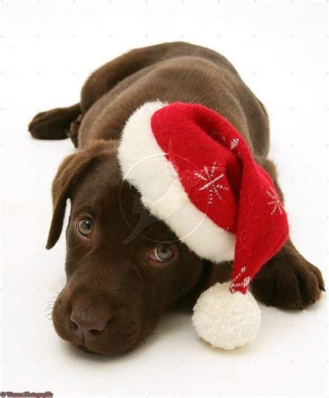 merry puppy chocolate labrador retriever merry card puppy dogs santa claus