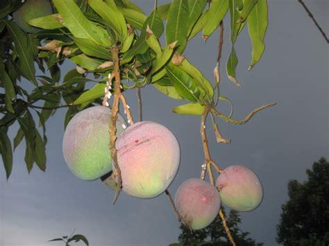 mango tree fruiting forum mango tree not fruiting
