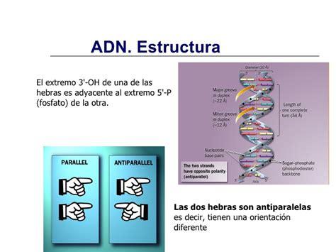 estructura y funcin del 8491130810 estructura y funci 243 n de 193 cidos nucleicos