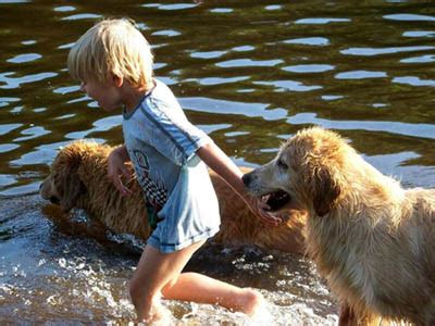 tangleloft golden retrievers tangleloft golden retrievers established 1968 40 years of top quality chion