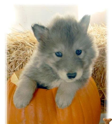 hybrid wolf puppies for sale 25 best ideas about husky puppies for sale on