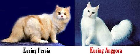Sho Kucing Yang Bagus perbedaan ciri fisik 7 perbedaan kucing dan anggora