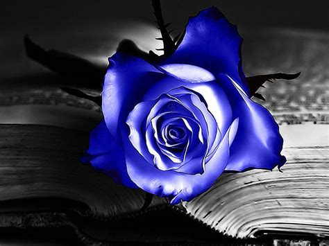 free wallpaper blue roses wallpapers blue rose wallpapers