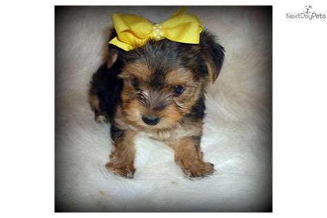 how to litter a yorkie puppy terrier yorkie for sale for 500 near evansville indiana 6b9d5374 8351