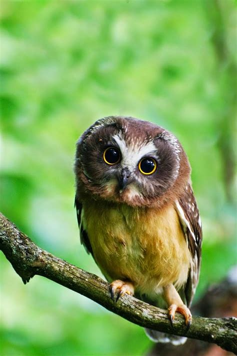 northern saw whet owl all about owl