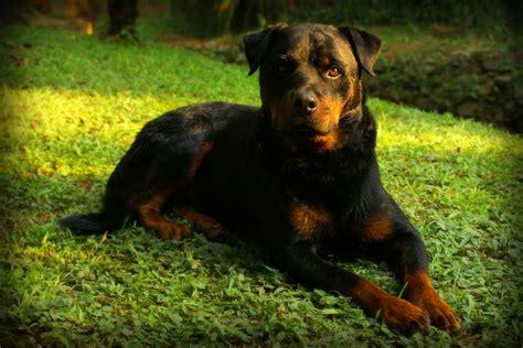 perro rottweiler americano diferencias entre perros rottweiler alem 225 n y americano info can