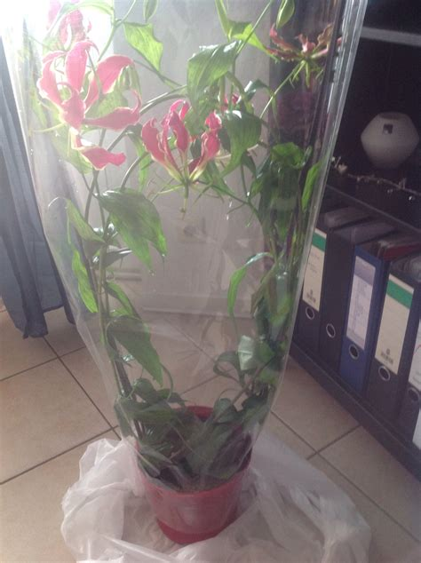 wann bäume pflanzen wie hei 223 t diese pflanze gloriosa superba ruhmeskrone