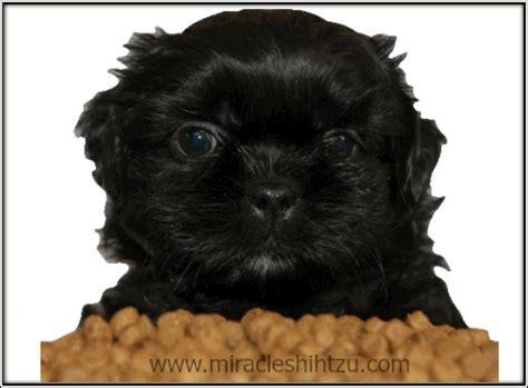 shih tzu puppy feeding feeding your shih tzu