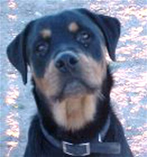 colossal rottweilers rottweiler picture excellent rottweiller photos