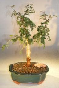 monkey thorn bonsai treeacacia galpiwii