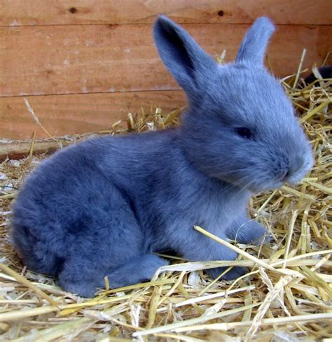 Bantal Peyang Baby Rabbit Blue continental rabbit search animals other i wish and photos