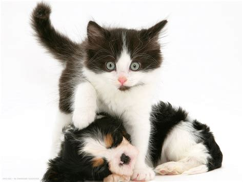 Charles And Ceits cavalier king charles spaniel and cats 1 free wallpaper