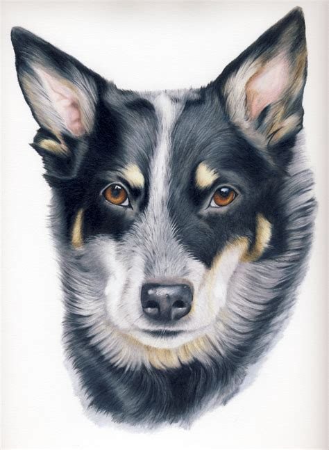 how to a blue heeler puppy how to draw a blue heeler breeds picture
