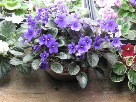 Usambaraveilchen Pflege by Gardening Landscaping Violet Care With Flowers