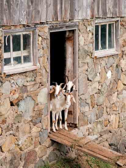 the backyard goat raising goats on a backyard farm modern homesteading