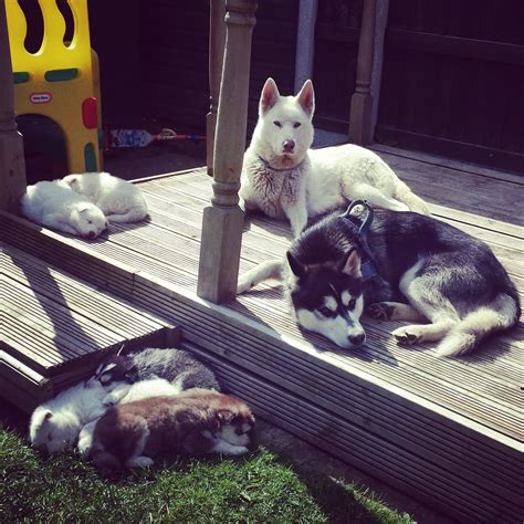black husky puppies for sale husky puppies for sale brown black and white goole east of