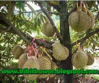 Bibit Buah Jogja f l o r a durian bawor