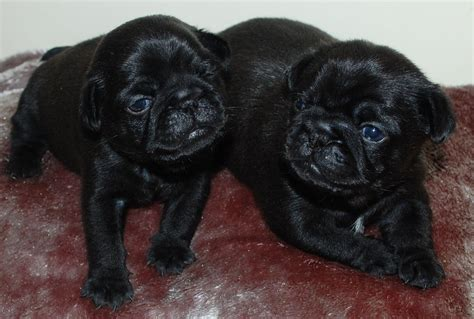 pug puppies for sale belfast puppies bulldog x pug for sale pets dogs puppies dogs breeds picture