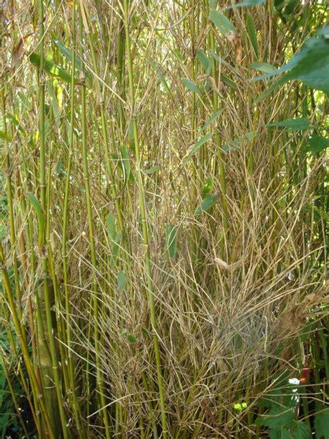 Bambus Krankheiten by Bambus Wird Braun Auch Neuaustriebe Wo Liegt Das
