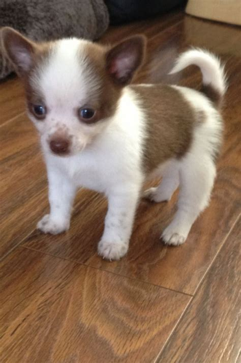 chihuahua mixed with pomeranian for sale only 1 boy left chihuahua x pomeranian blackpool lancashire pets4homes