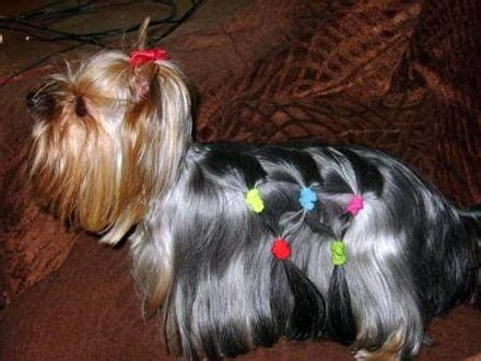 yorkie haircut styles pictures 85 best yorkie haircuts images on