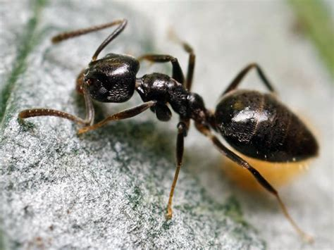 Odorous House Ants by Small Ant Extermination Dallas Fort Worth