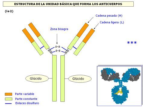 tipos de cadenas ligeras anticuerpos 211 rganos linfoides primario 243 rganos linfoides secundario