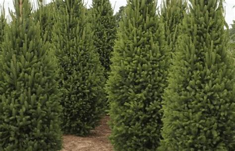 columnar norway spruce timberline landscaping