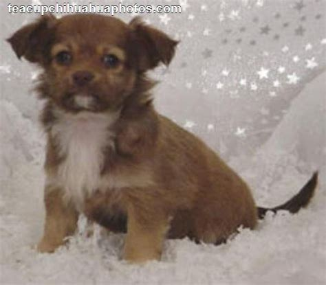 chihuahua puppy names white chihuahua names image search results