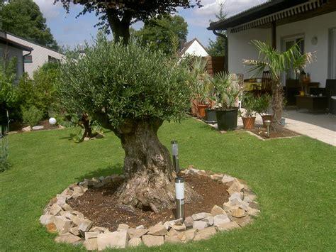 olivenbaum im garten 2534 olivenbaum im garten olivenb ume im garten lbaum im