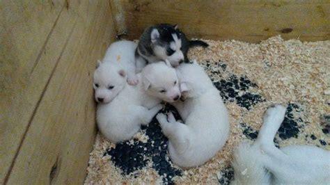 Donne Adorables petits CHIOTS husky de siberien a donner