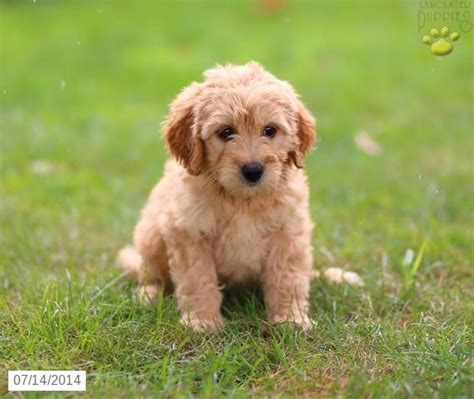 mini doodle puppies for sale in pa 39 best mini goldendoodles images on golden