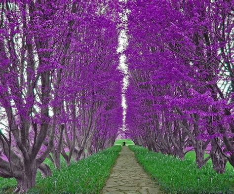 1000 ideas about purple trees on pinterest australia