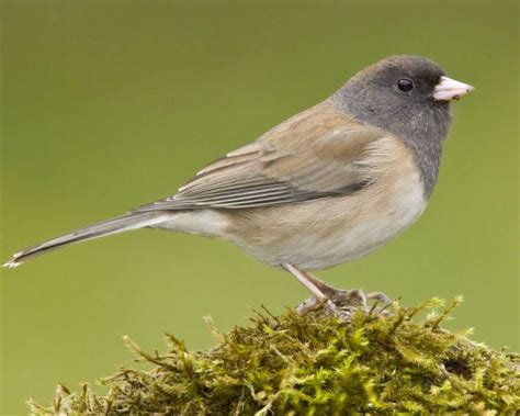 dark eyed junco audubon field guide
