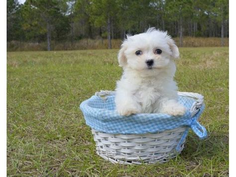 puppies for sale in vt foundational maltese puppies for sale animals groton vermont announcement 29833