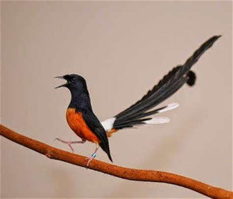 gambar burung murai medan berbagai macam jenis burung murai batu lengkap dengan gambar