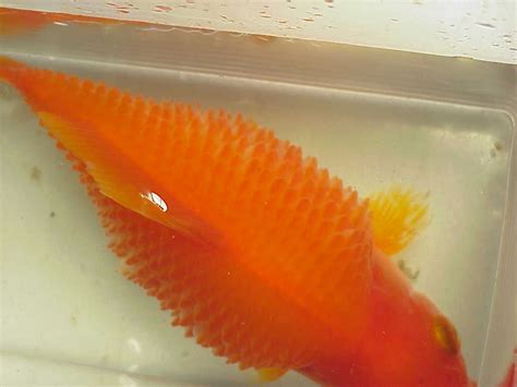 dropsy or bloat in koi or goldfish