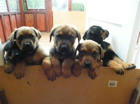 mastweiler puppies mastweiler puppy 1 boy ready now stroud gloucestershire pets4homes