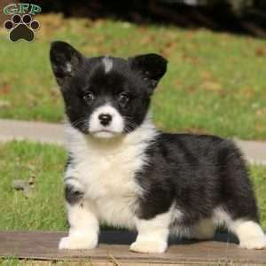 corgi puppies pa pembroke corgi puppies for sale greenfield puppies
