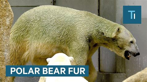 what color is polar fur the true color of polar fur explained