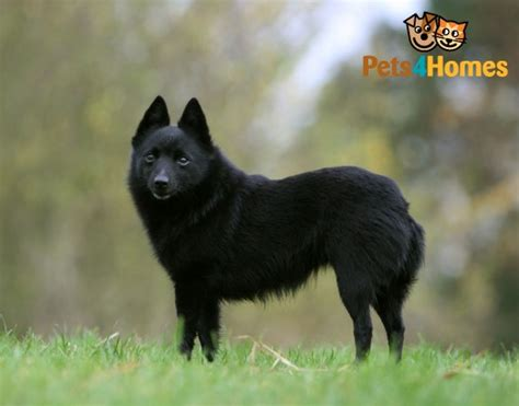 schipperke puppies schipperke breed information facts photos care pets4homes