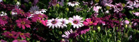 margherite fiori quot margherite quot fiori 1 foto immagini macro e up